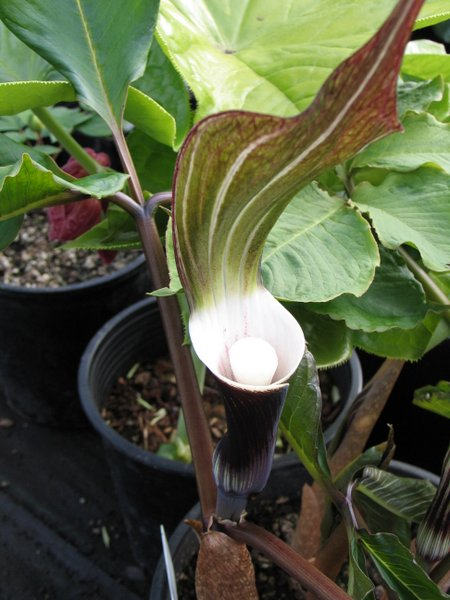arisaema sikokianum planting instructions