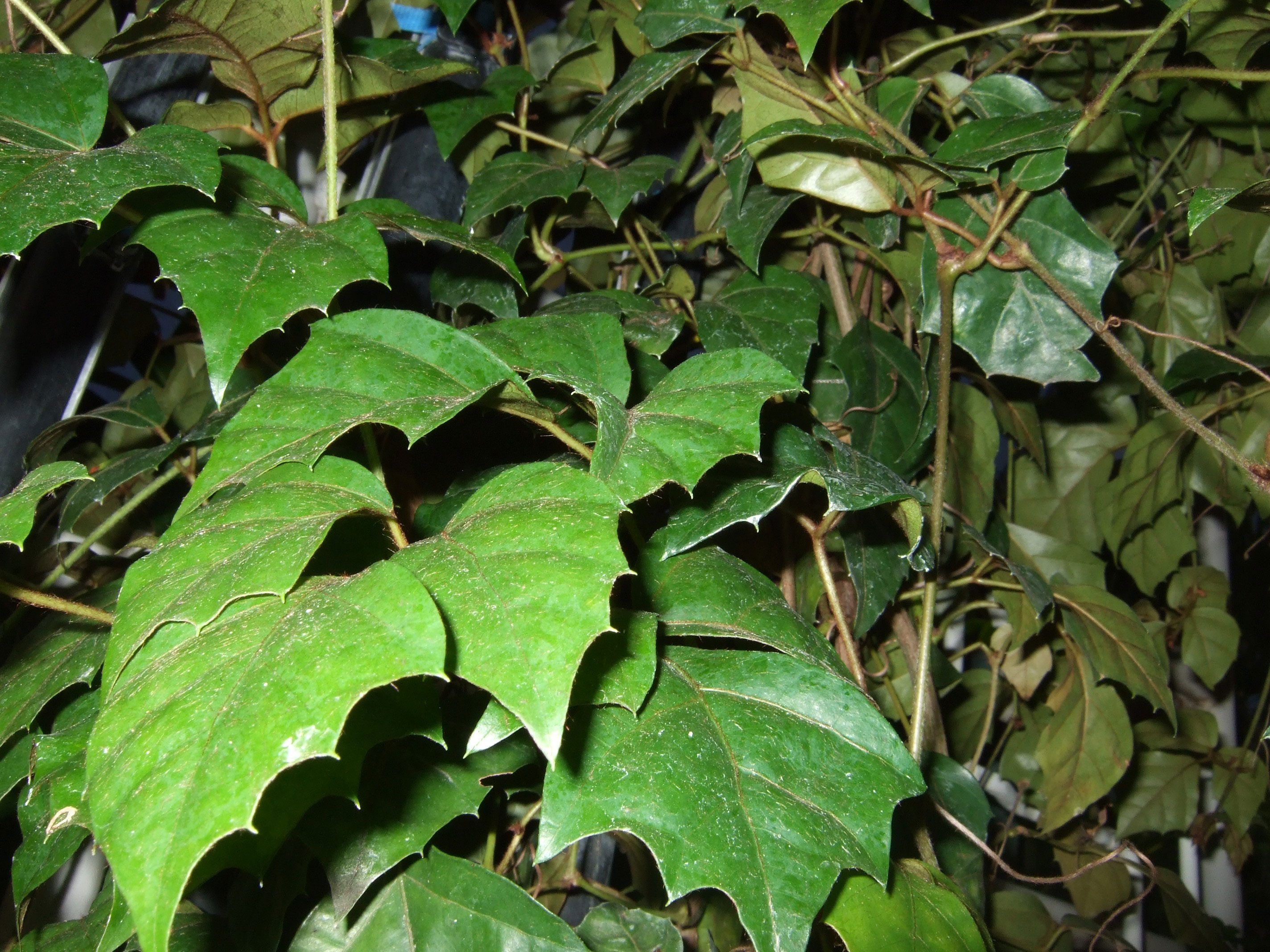 care instructions for indoor ivy plant