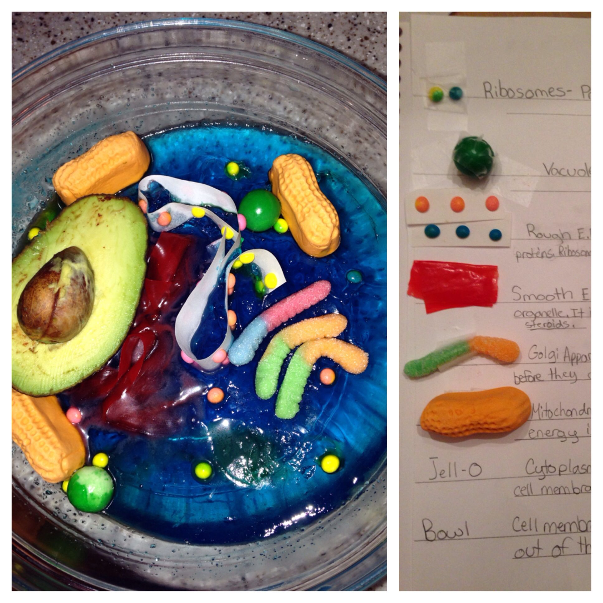 edible animal cell project instructions