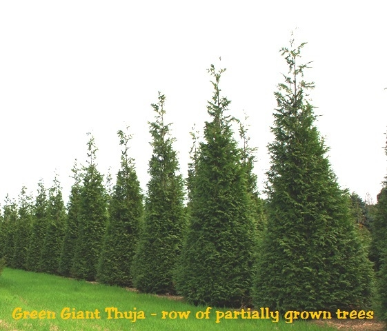 thuja green giant planting instructions