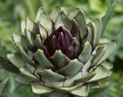 globe artichoke planting instructions