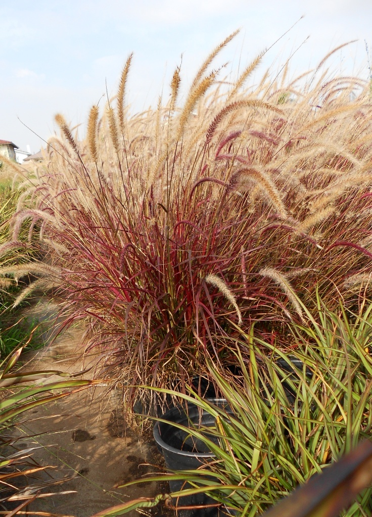 pampas grass planting instructions