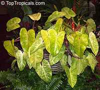 blushing philodendron watering instructions