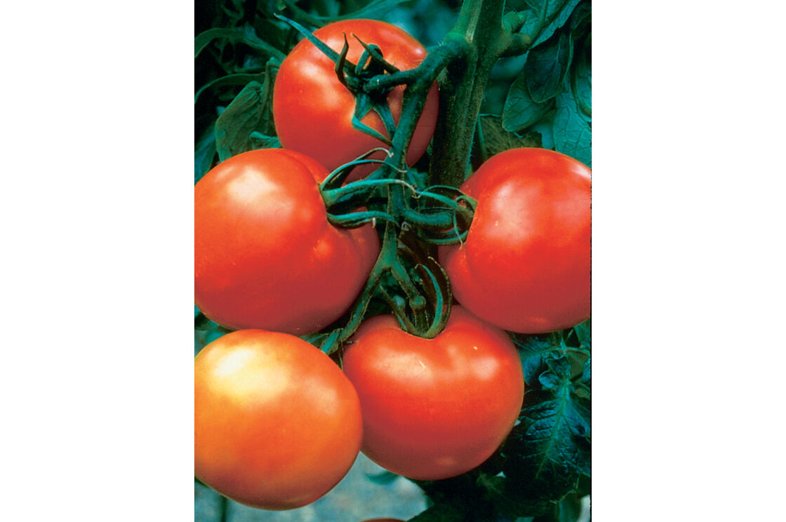 instructional guide for growing tomatoes