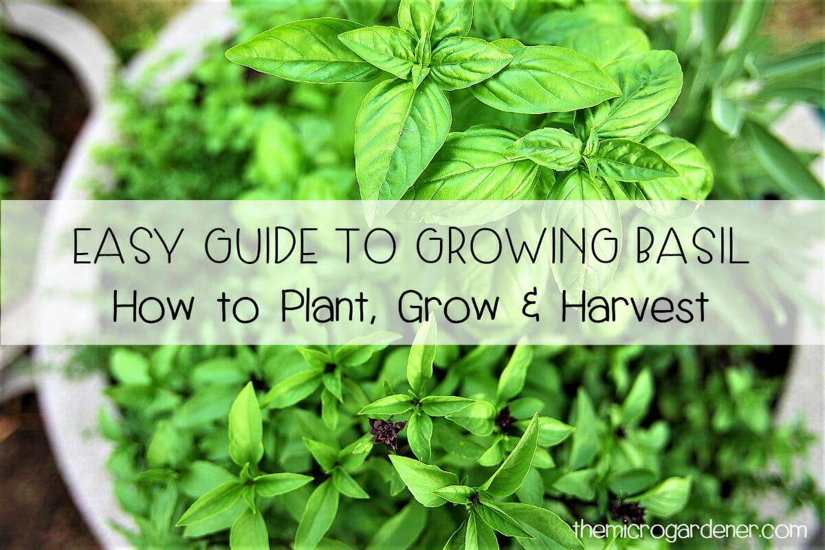 instructions for growing basil microgreens