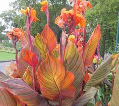 tropical canna care instructions